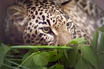 V Pavilonu šelem Joy Adamsonové v Safari Parku Dvůr Králové se zabydluje nová vzácná obyvatelka. Mladá samice levharta perského přicestovala z německého Kolína nad Rýnem.