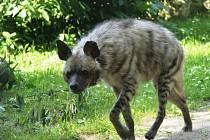Noví nájemníci ve Dvoře Králové. Do zoo se vrátily hyeny žihané
