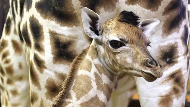 Zoo má nové žirafátko. Logan se zatím drží u mámy