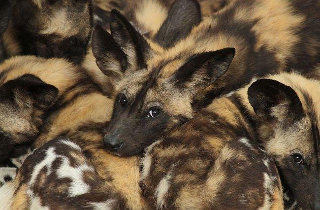Ze dvorského safari parku byli ve čtvrtek odesláni čtyři psi hyenoví do australské zoo vSydney. Jedná se odosud nejdelší transport zvířat ze Dvora Králové do jiné zoologické zahrady. Čtveřice psů urazí ze Dvora Králové do Austrálie 16700km.