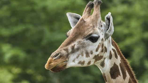 Královédvorský Safari Park má novou žirafí samici.
