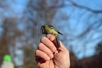 Ochránci přírody odchytávali ptáky do sítí a kroužkovali je.