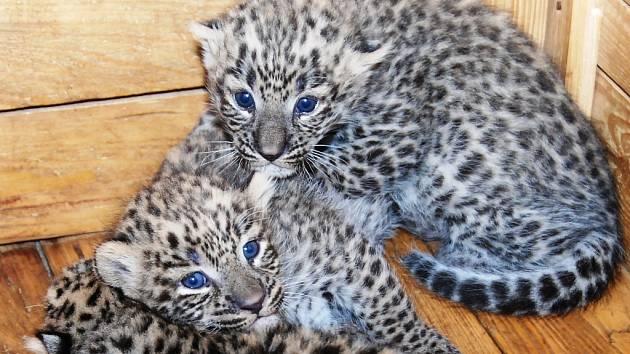 Mláďata levharta perského