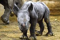 V úterý v ranních hodinách oslavila Zoo Dvůr Králové narození nosorožce dvourohého. Samice Etosha porodila už 45. nosorožce tohoto druhu, který se v podkrkonošské zahradě narodil.