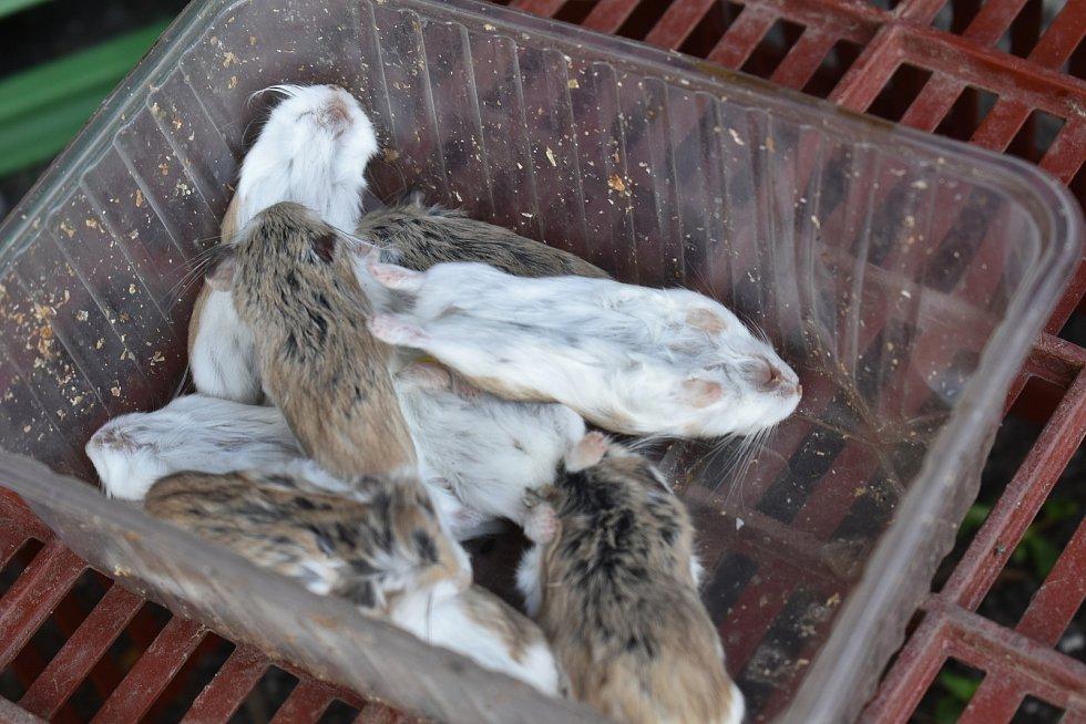 Oběd! Čapí mláďata hnízdí v Mladých Bukách na dvanáct metrů vysokém sloupu. S krmením tam za nimi třikrát denně leze Šándor Havrán.