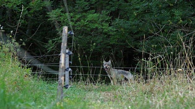 Setkání s vlčicí v Krkonoších
