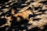 Trojice lvic, narozených 5. července, konečně s matkou Khalilou opustila zázemí pavilonu lvů. Pravidelně již vycházejí do vnitřní expozice i na venkovní dvorky. Do výběhu Lvího safari se lvíčata podívají až v příští sezoně.