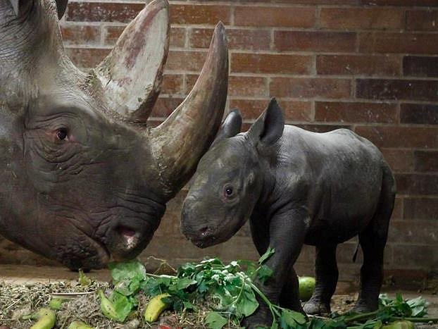Jasiri znamená statečná. Půlroční mládě nosorožce dostalo jméno