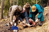 PRO NASAZENÍ obojků je nutné zvířata individuálně uspat pomocí narkotizační střely.