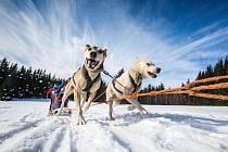 Závody psích spřežení s taženým běžkařem Ledová jízda mají atraktivní start v sobotu v 18.00 od sjezdovky Javor v Peci pod Sněžkou..