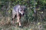 Fotopasti v Orlických horách poprvé v novodobé historii potvrdily trvalý výskyt vlka.