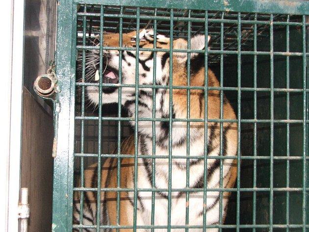 Tygřice Sofi