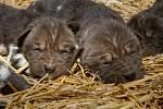 Smečka psů hyenových se rozrostla o šest štěňat