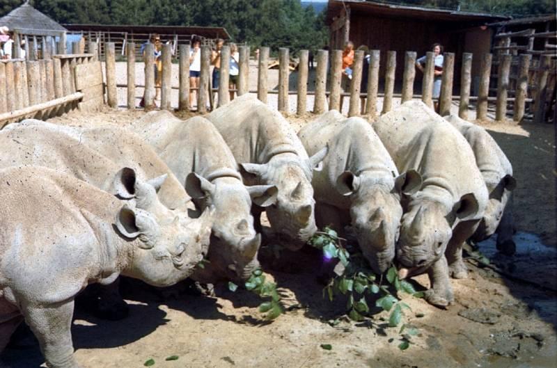 Nosorožci v africkém kempu v 70. letech.