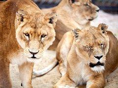 Zoo už má svou smečku lvů