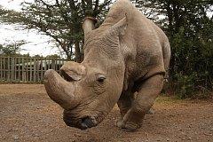 Nosorožec Sudan.