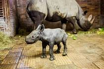 Nosorožci ve Dvoře slaví: Konečně holka!