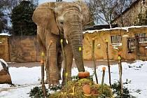 V ZOO DVŮR KRÁLOVÉ oslavili 11 narozeniny slona Kita, který je jediným samcem slona afrického chovaným v Česku a na Slovensku. Kito do dvorské zoo přišel v červnu 2009 ze zoo v britském Colchesteru.