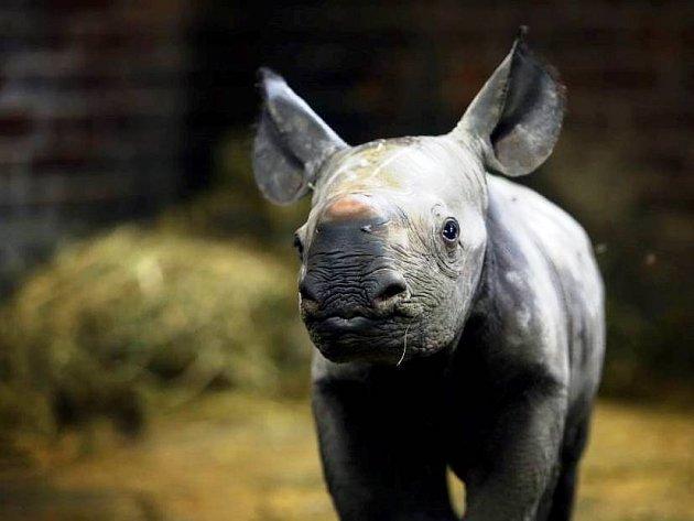 A zase kluk! Zoo slaví druhé letošní mládě nosorožce