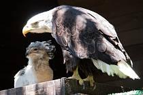 O královédvorské ptačí mládě se starají adoptivní rodiče v Liberci