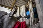 Veterinář z Kenya Wildlife Service, Dr Domnic Mijele (vlevo) a veterinář Ol Pejety, Dr. Stephen Ngulu, odpojí IV linku poté, co Najin dostane zvrat z anestézie.