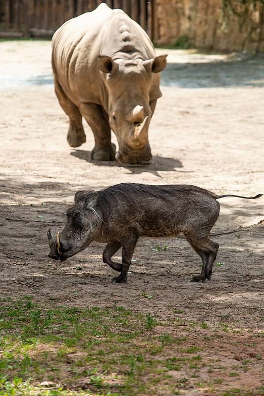 Od pondělí 25. května bude návštěvníkům k dispozici celý areál Safari Parku Dvůr Králové, včetně vnitřních pavilonů, restaurací, obchodů a galerie obrazů Zdeňka Buriana. Poprvé letos vyjedou Safaribusy a Afrika trucky do Afrického a Lvího safari.