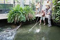 Odchyt samice Penelopy v pavilonu Vodní světy v Safari Parku Dvůr Králové.