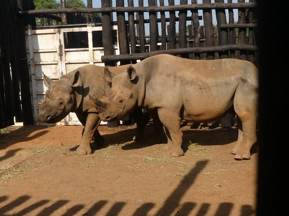 Nosorožci přešli na africkou stravu.