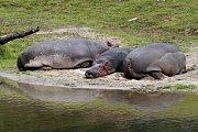Hroši se cachtají ve vodě a sluní na pláži.