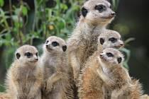 SURIKATY patří mezi nejoblíbenější zvířata v královédvorské zoologické zahradě.
