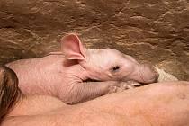 V zoo se narodilo mládě hrabáče kapského.