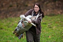 Odchyt pelikánů v ZOO Dvůr Králové