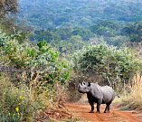 Nosorožec v Akageře.