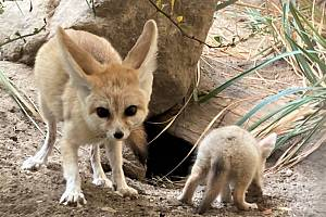 Nejmenší psovité šelmy světa se v safari parku rozmnožily po takřka dvou dekádách.