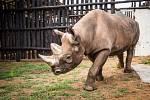 Nosorožec Manny krátce po vypuštění do ohrady z dřevěných kůlů ve Rwandě. Byl jedním z pěti nosorožců, navrácených do národního parku Akagera 24. června 2019.