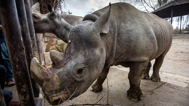 Dvorský Safari park chystá přesun pěti nosorožců z Evropy do Afriky.
