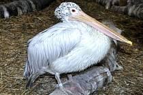 Pelikán skvrnozobý