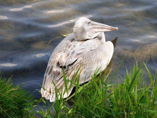 Nalezený pelikán
