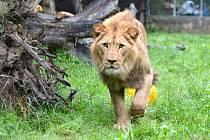 LVA BERBERSKÉHO si lidé budou moci už příští rok prohlédnout při projížďce novým lvím safari, které vznikne v ZOO Dvůr Králové nad Labem.