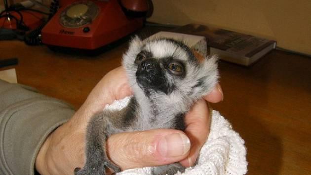 Mládě lemura kata se podařilo zachránit ošetřovatelům zoo Dvůr Králové