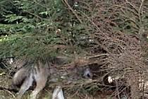 Vlk zachycený fotopastí.