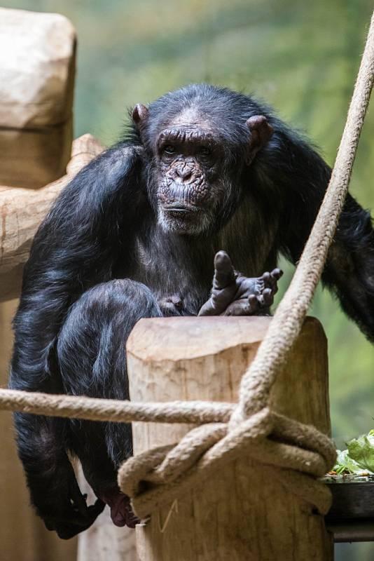 Šimpanz. Ilustrační snímek