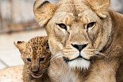 Ve výběhu lvů ve dvorském safari parku začalo být velmi rušno. Před několika dny se tam poprvé vydala dvě osmitýdenní koťata lvů berberských. Ta se v safari parku narodila po třicetileté přestávce.