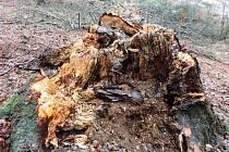 Chráněnou krajinnou oblastí mezi hradem Valdštejn, Hrubou Skálou a Sedmihorkami už několik dní burácejí pily. Kácení se totiž nevyhne skoro dvě stě stromů. Jsou poškozené a ohrožují bezpečnost návštěvníků lesa.