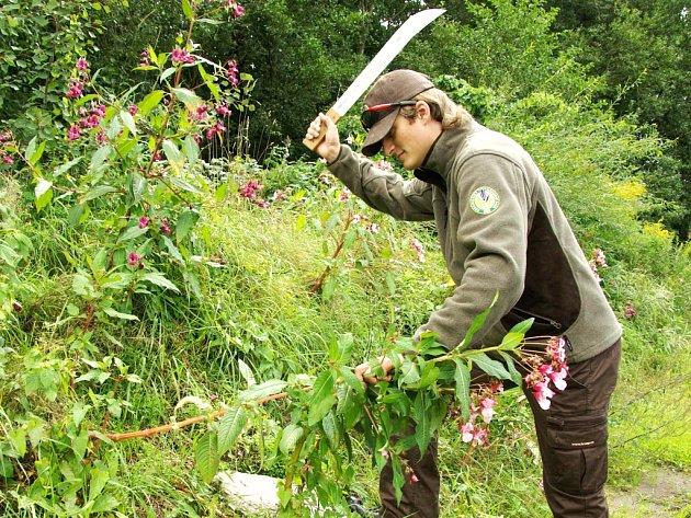 PROTI INVAZNÍM rostlinám v nejvyšších českých horách  krkonošští ochranáři stále vytrvale bojují. Na snímku Tomáš Janata při zásahu v porostu netýkavek.