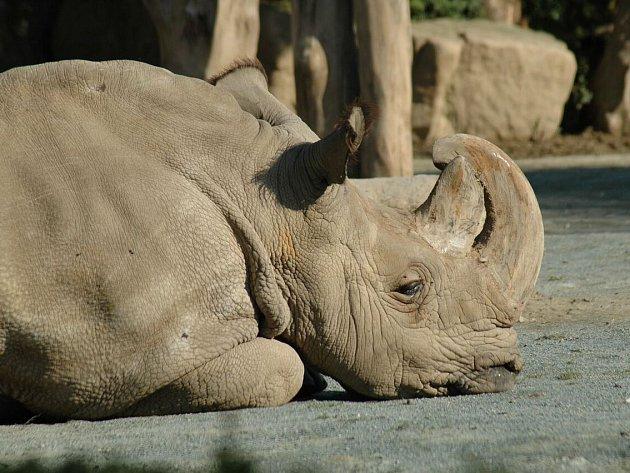Poslední samec nosorožce severního bílého Sudán zemřel letos v březnu.