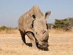 Poslední samec nosorožce severního bílého uhynul. Zbývají už jen dvě samice