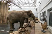 Samice slona afrického Saly.