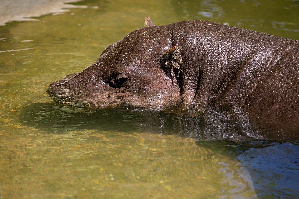 Mláďata hrošíků liberijských jsou k vidění v Safari Parku Dvůr Králové v nových rekonstruovaných vybězích, kde mají i vlastní jezírka.