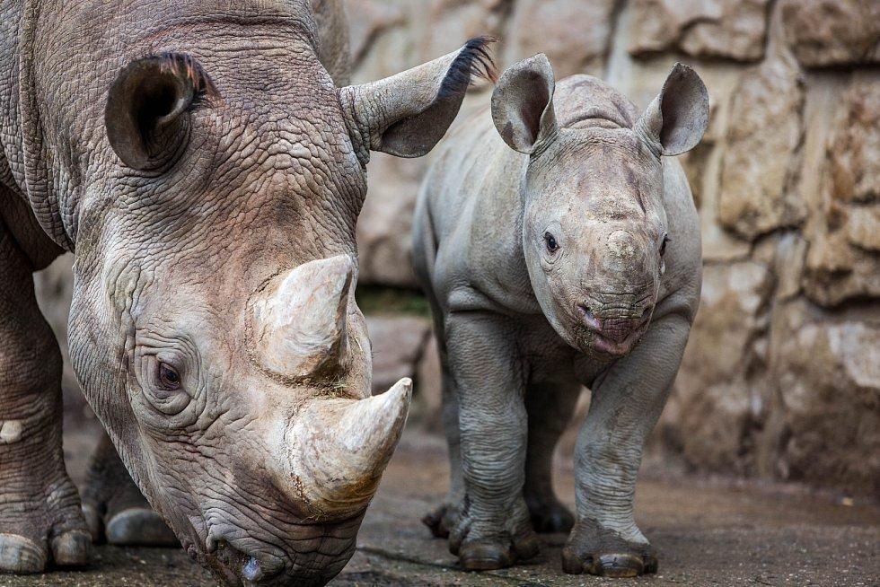 Mládě vzácného nosorožce dvourohého je celkově už 45. nosorožcem tohoto druhu narozeným ve dvorské zoo. Matkou se podruhé stala samice Etosha.